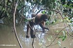 Black spider monkey in the Colombian Amazon