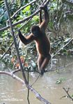 Black spider monkey in the Colombian Amazon [co06-1183a]