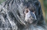 Monk saki monkey (Pithecia monachus) [co06-1190]