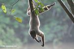 Woolly monkey hanging upside down