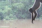 Woolly monkey hanging out [co06-1212]