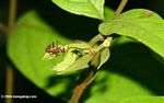 Ants in a symbiotic relationship with a plant in the Amazon rainforest