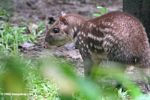 Borugo (Agouti taczanowskii) in the Colombian Amazon