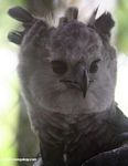 Harpy Eagle, Harpia harpyja, at a rehabilitation center