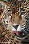 Jaguar opening its mouth