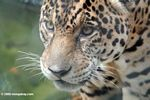 Jaguar (Panthera onca) [co06-1408]