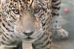 Jaguar (Panthera onca) [co06-1412]