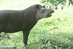 Tapir standing at the edge of a grassy meadow