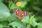 Brown buterfly with red, white, lavendar, and orange markings