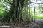 Disperse roots provide support for a Banyon tree in the Amazon