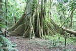 Buttress roots of an Amazon rainforest tree