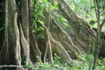 Buttress roots provide support for an Amazon rainforest tree