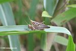 Mating Abracris flavolineata grasshoppers on a blade of grass