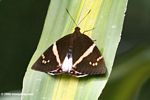Brown moth with light yellow markings on its wings