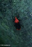 Black and orange Assassin Bug, family Reduviidae