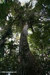 Towering Ceiba tree in the Colombian Amazon