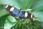 Black butterfly with blue and yellow spots