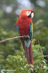 Scarlet macaw [co07-0516]