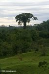 Cattle pasture in the Colombian Amazon