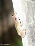 Red-Snouted Treefrog (Ololygon rubra) [ID uncertain].  ID suggestion by Anna Vittone