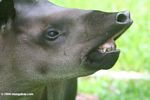 A face only a mother could love - the tapir