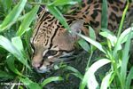 Ocelot (Leopardus pardalis) stalking its prey