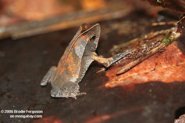 Leaf frog in Colombia