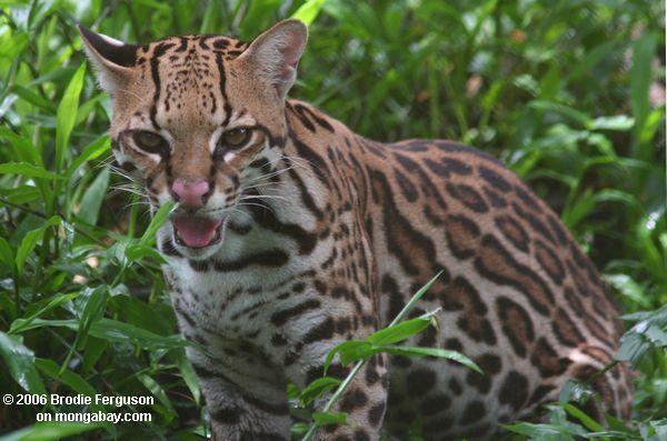 An ocelot in Colombia. Photo by: Brodie Ferguson.