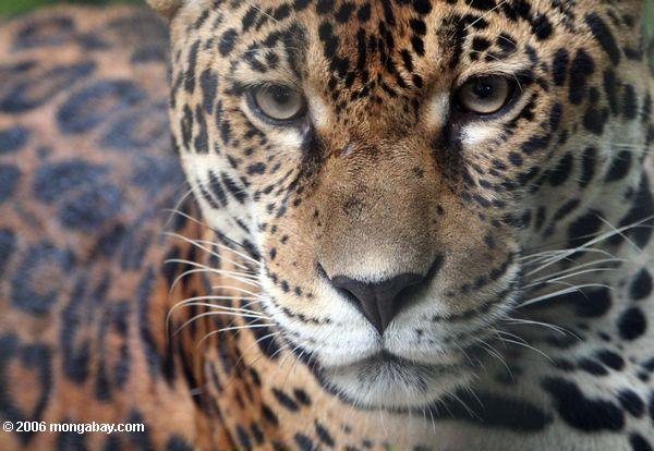 Jaguar conservation in Brazil's Pantanal