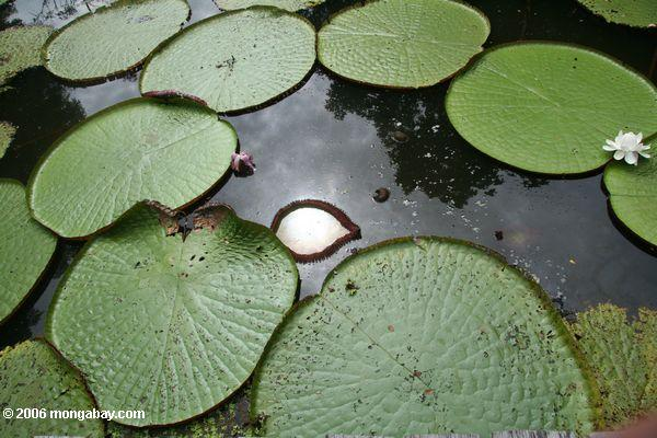 Photo: the World's largest lily pad
