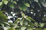 Canary-winged Parakeet [br_co-0008]