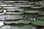 Amazon water lilies in Leticia