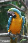 Blue-and-yellow Macaw [br_co-0029]