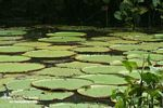 Amazon water lilies