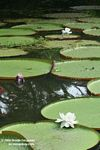 Amazon water lilies [br_co-0041]