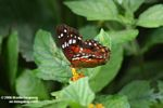 Colorful butterfly feeding on a yellow flower [br_co-0047]