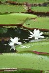 White flowers of the Amazon water lily