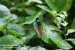 Red and black skimmer dragonfly (family Libellulidae)