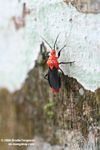 Red and black Assassin Bug, family Reduviidae