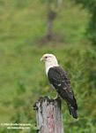 Yellow-headed Caracara (Milvago chimachima) - adult