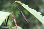 Dark brown stick insect