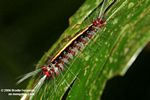 Red, black, yellow, and white caterpillar