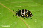 Pleasing Fungus Beetle, family Erotylidae (Zig zag pattern)