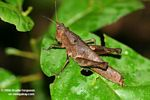 Brown Xyleus sp. (possiby X. discoideus) grasshopper [br_co-0232]