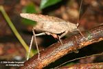 Brown katydid [br_co-0246]