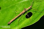 Brown walking stick