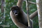 Woolly monkey [br_co-0311]