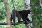 Woolly monkey [br_co-0314]