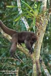 Woolly monkey [br_co-0322]