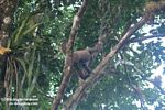 Woolly monkey [br_co-0324]